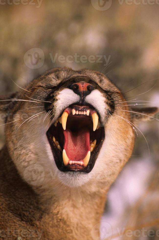 león de montaña agitado foto
