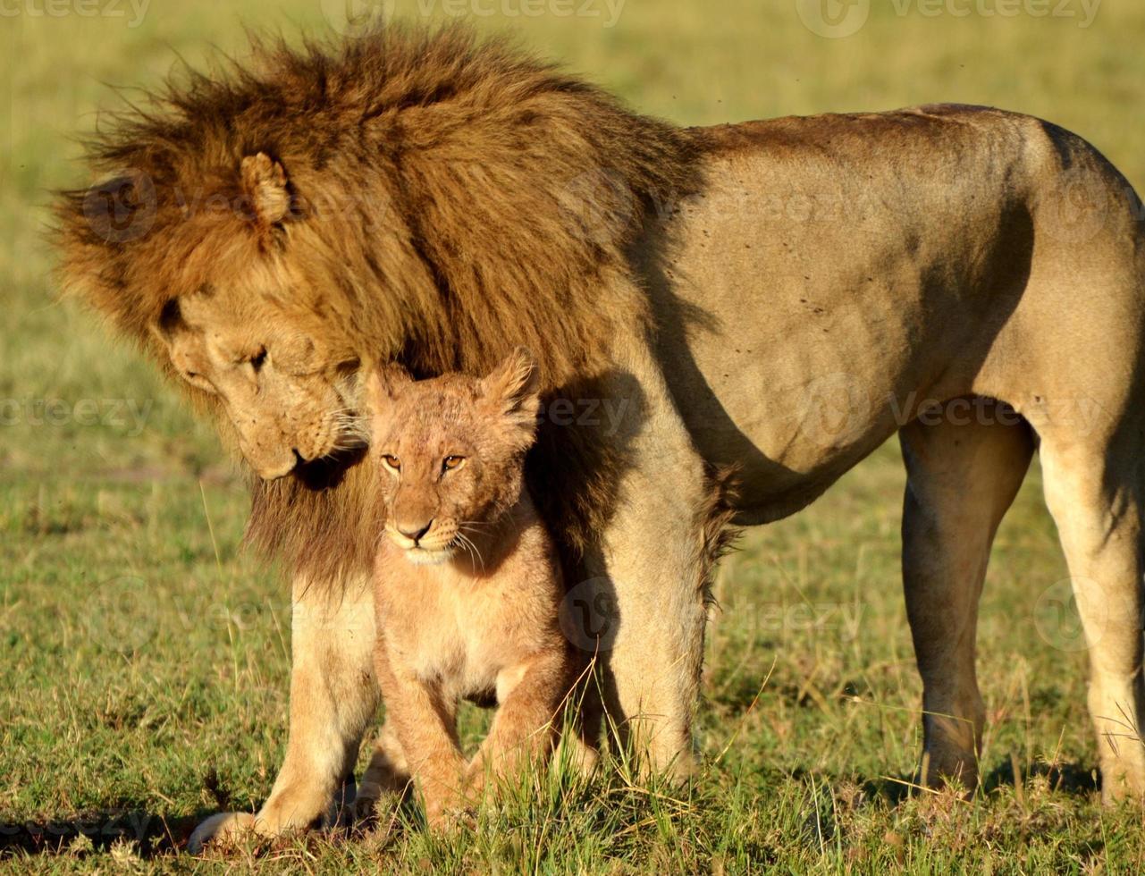 leones serengeti foto