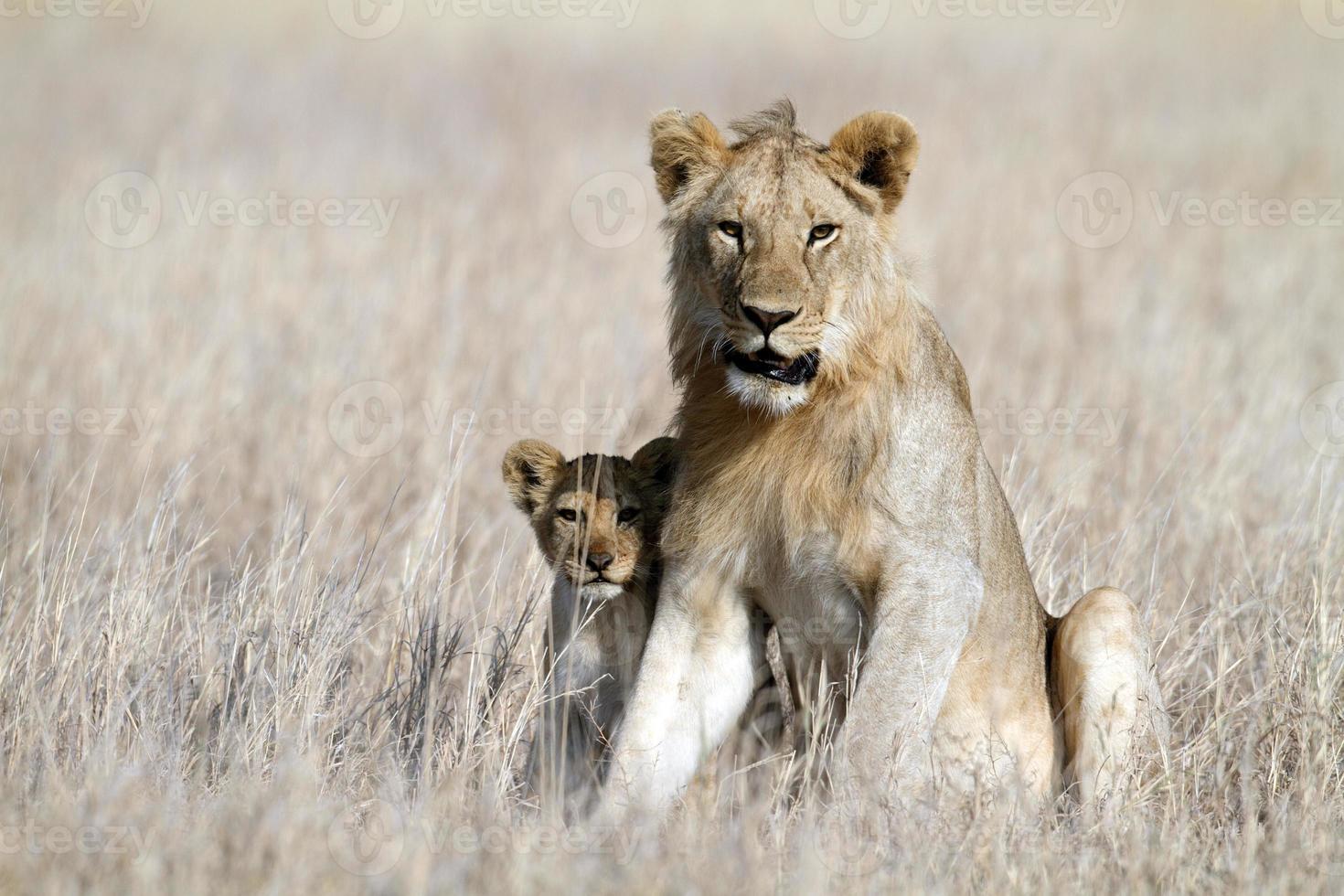 león bigbrother cachorro de niñera, serengeti, tanzania foto