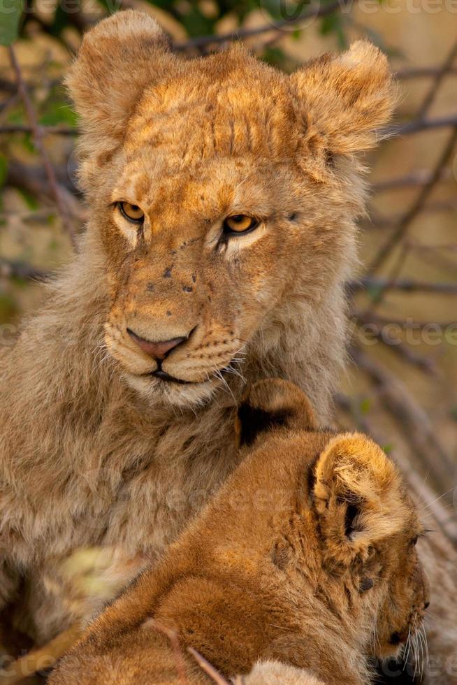 leones foto