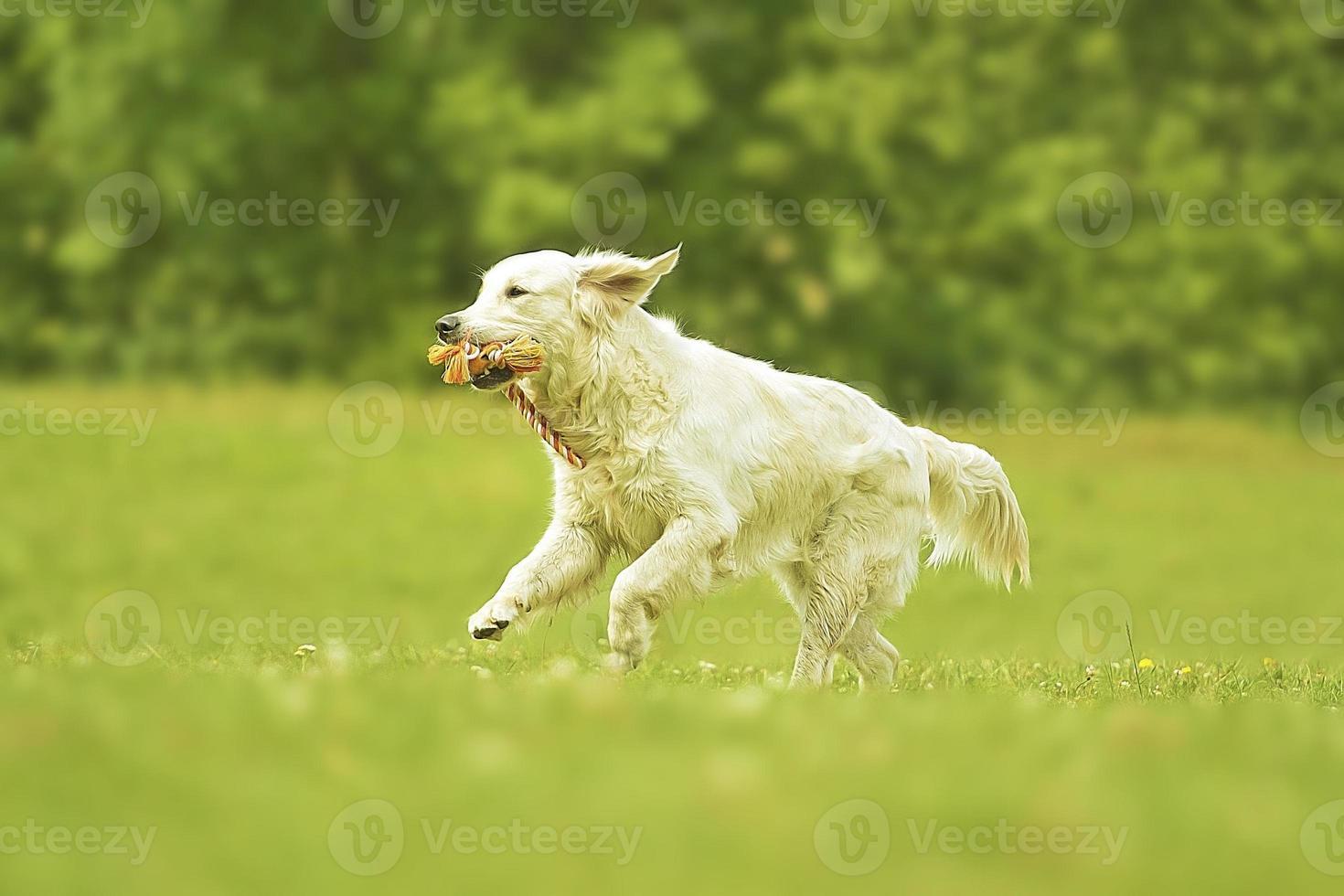 fun young beautiful golden retriever dog puppy running photo