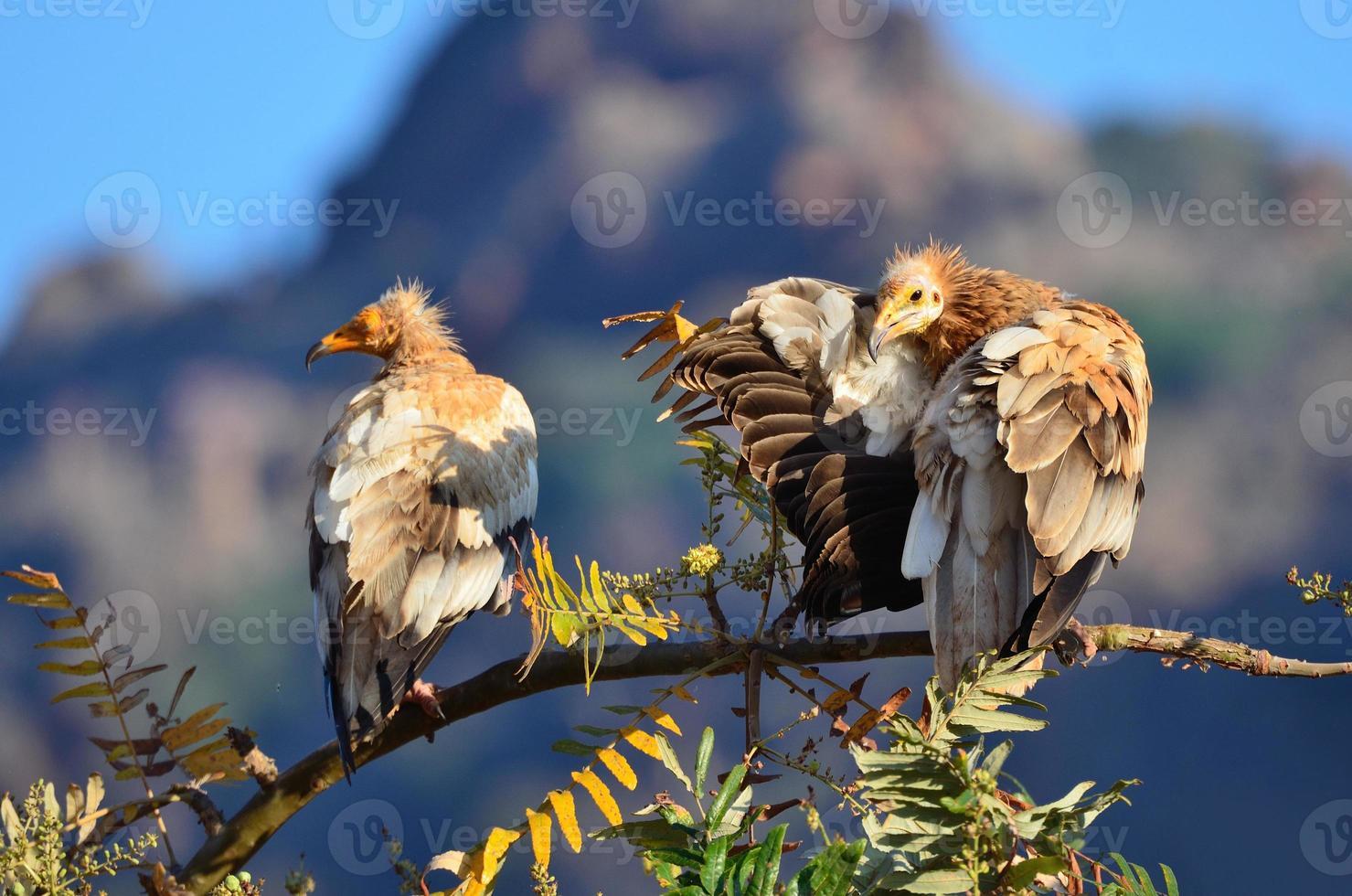 buitres egipcios en la rama del árbol foto