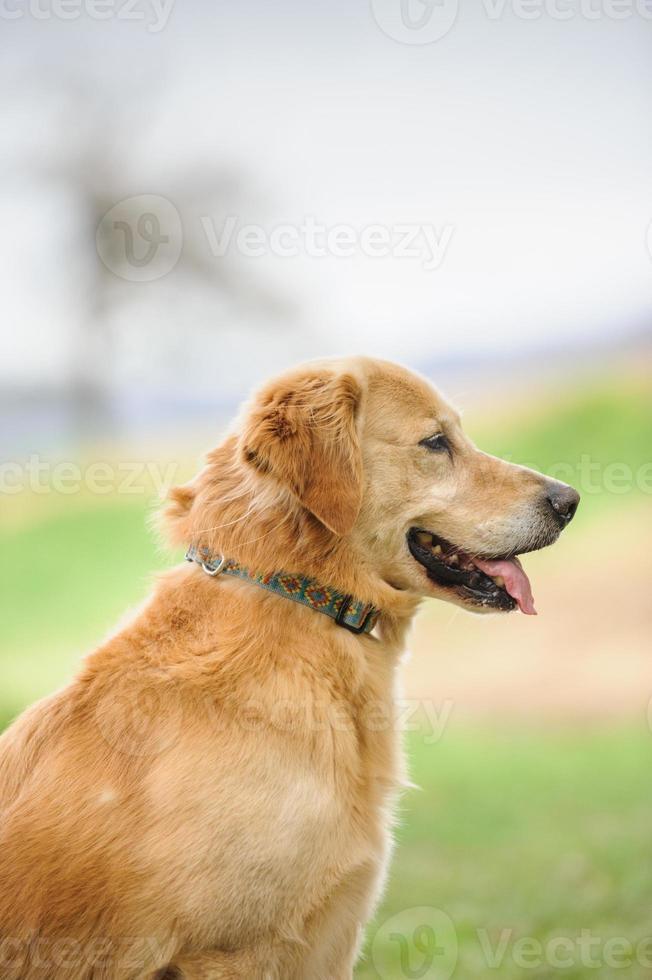 perfil de golden retriever foto