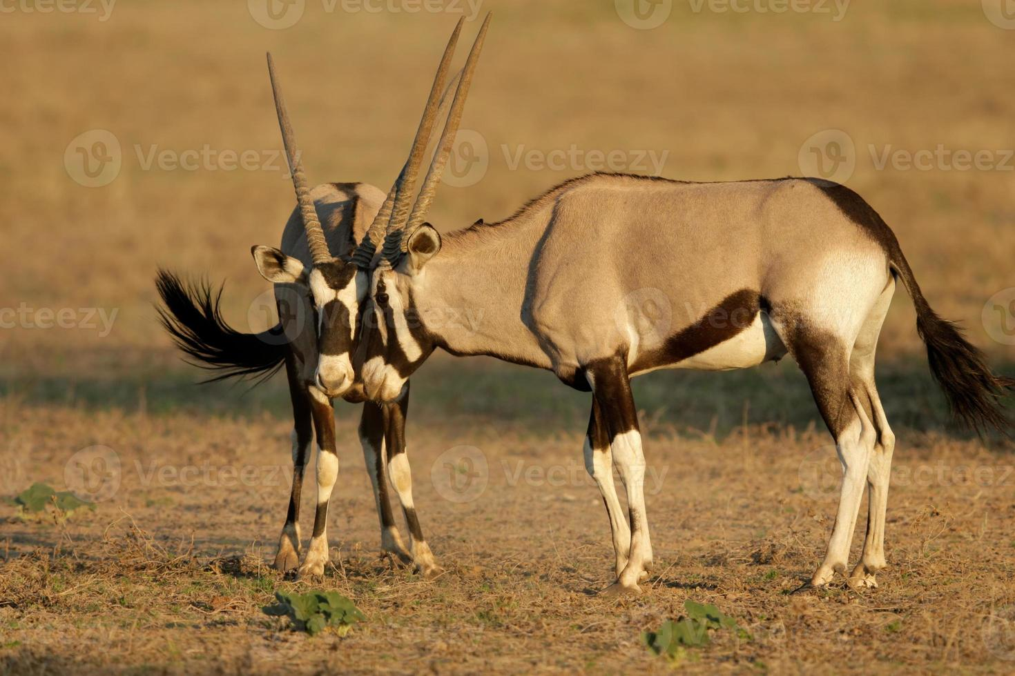 lucha contra gemsbok foto