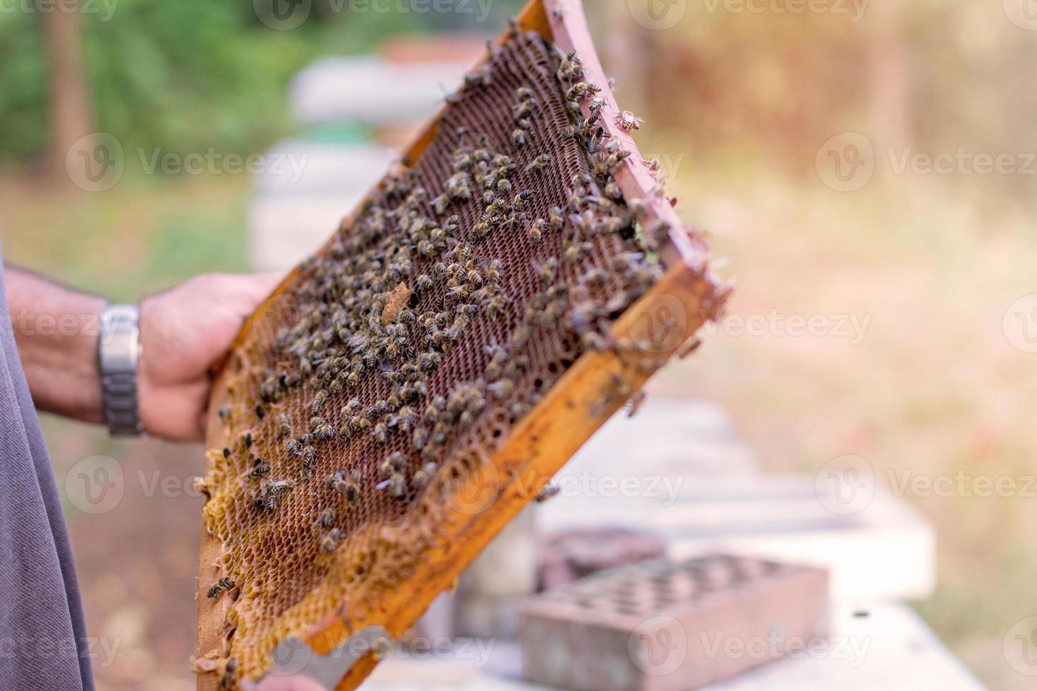 Honeycomb with honeybees photo