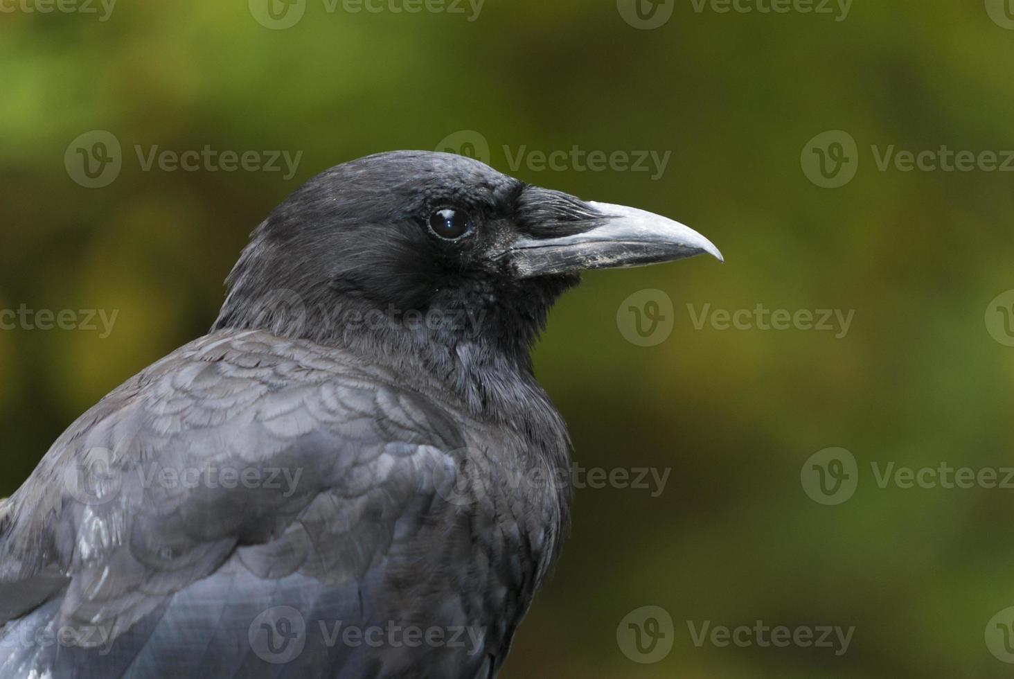 cuervo del noroeste foto