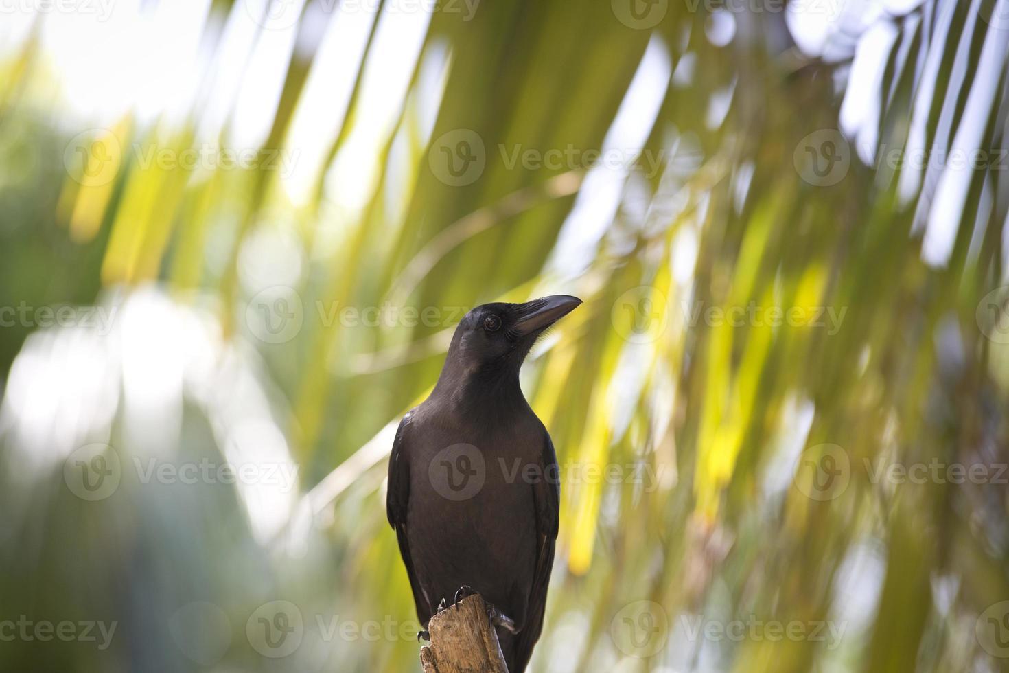 cuervo esperando foto