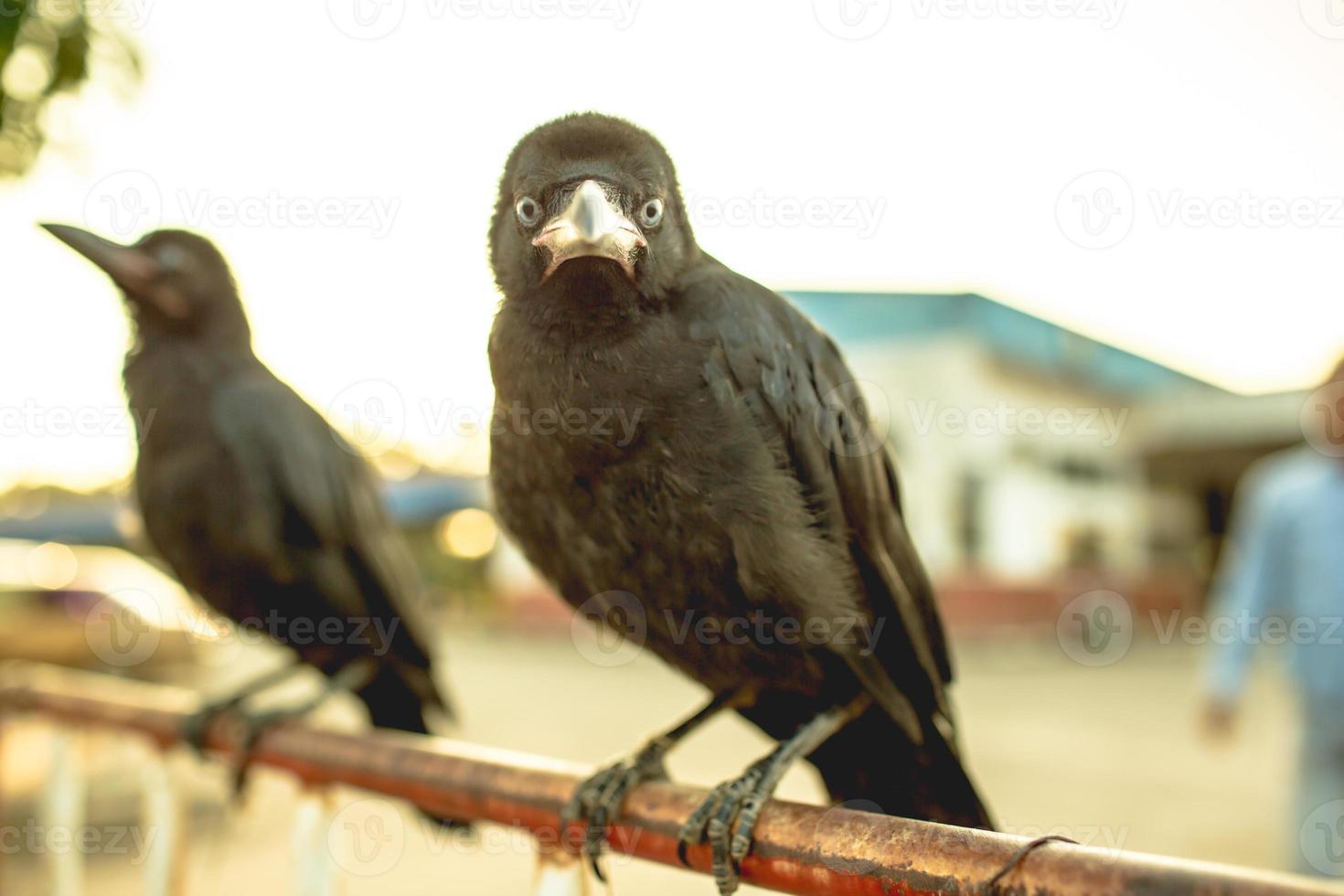 Cuervos en la barrera de tráfico de hierro. foto