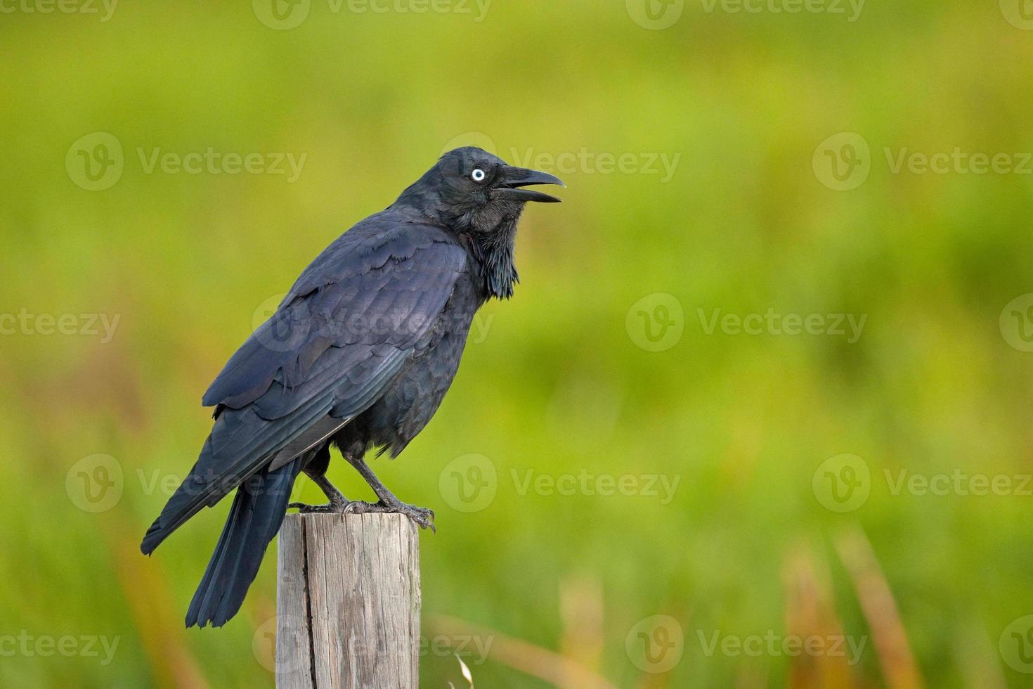 cuervo australiano, corvus coronoides, en foco foto