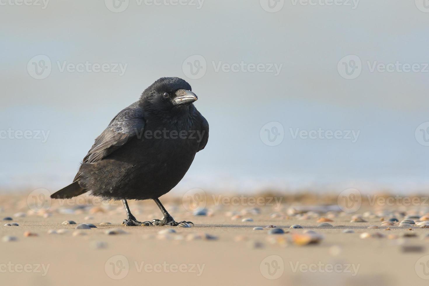 cuervo carroñero (corvus corone) foto