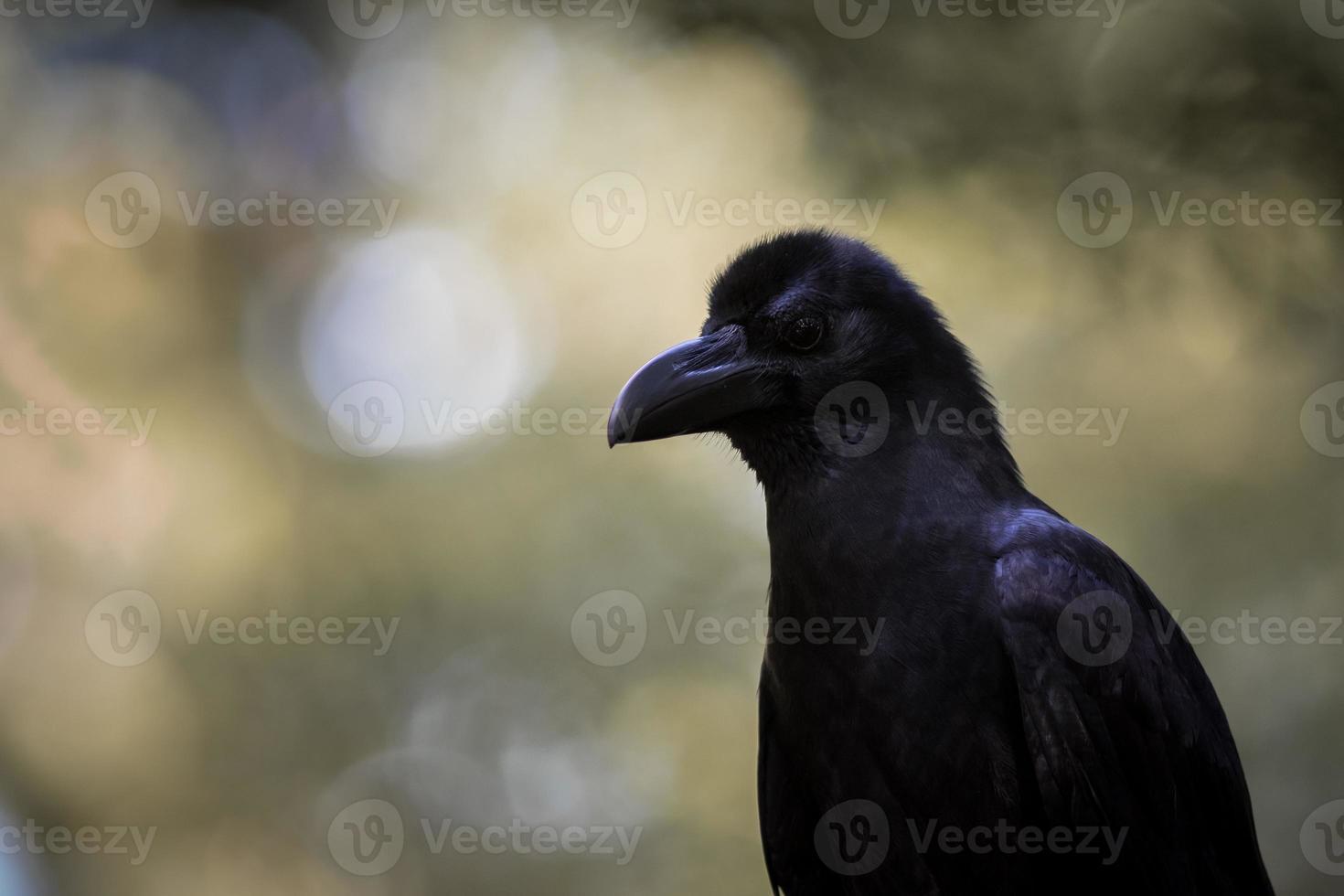cuervo de pico grande foto