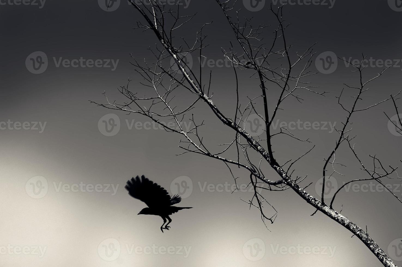 silueta de un cuervo en el árbol foto