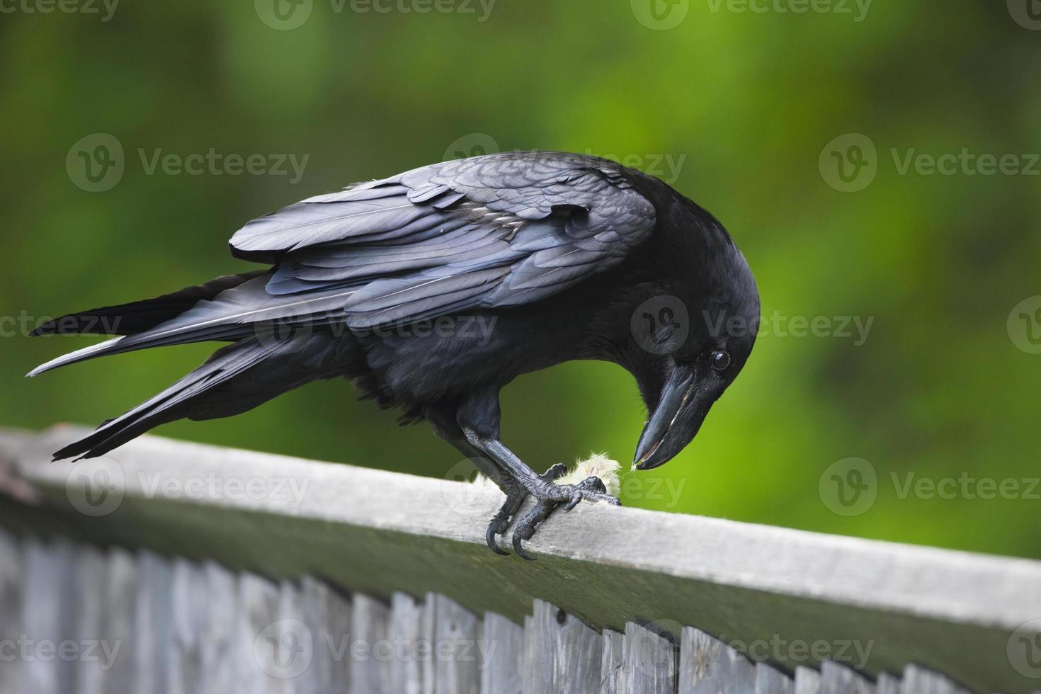 alimentación del cuervo foto