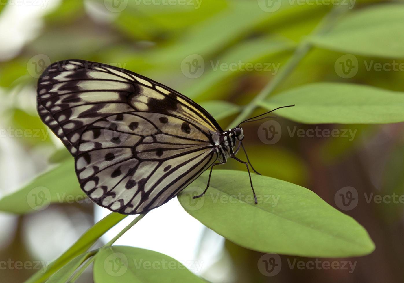 mariposa elegante foto