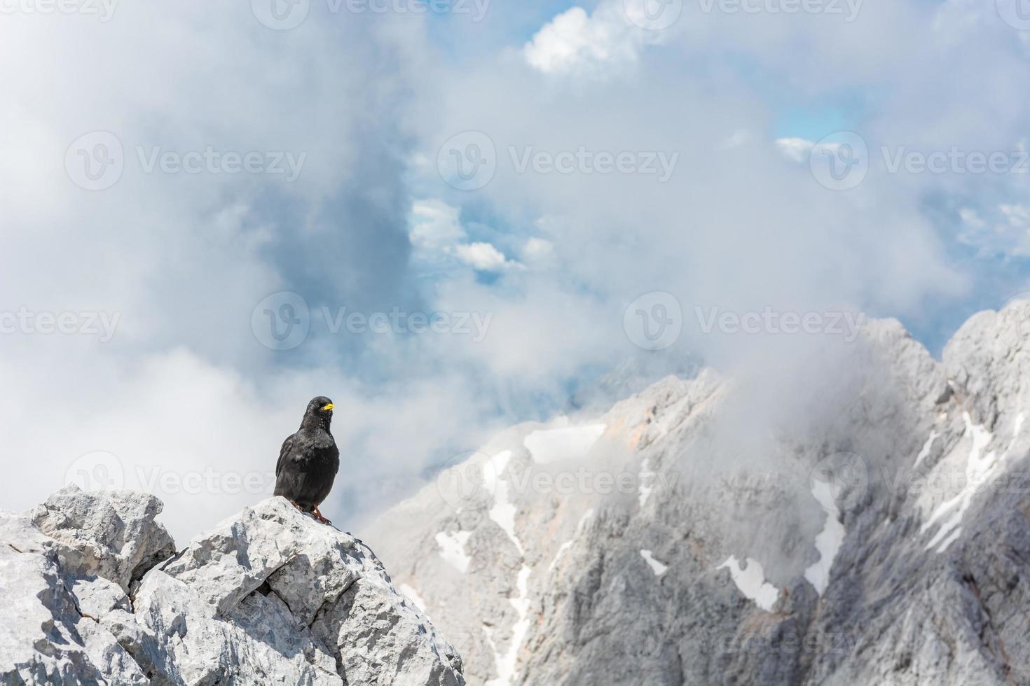 chough alpino sentado en una roca foto