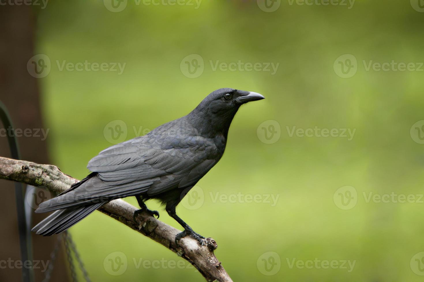 gran cuervo negro en la extremidad desnuda foto