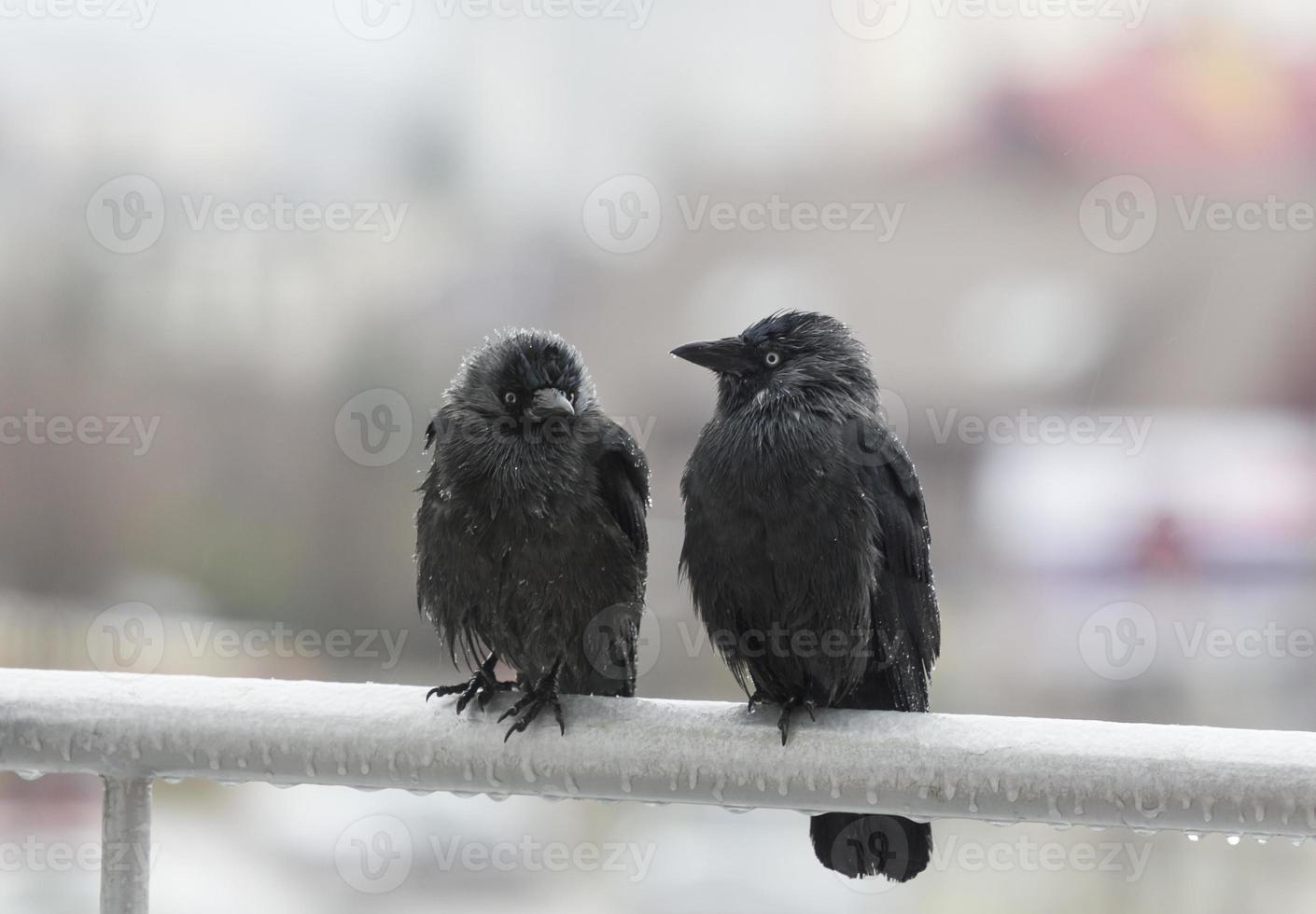 dos cuervos mojados sentados en el riel del balcón foto