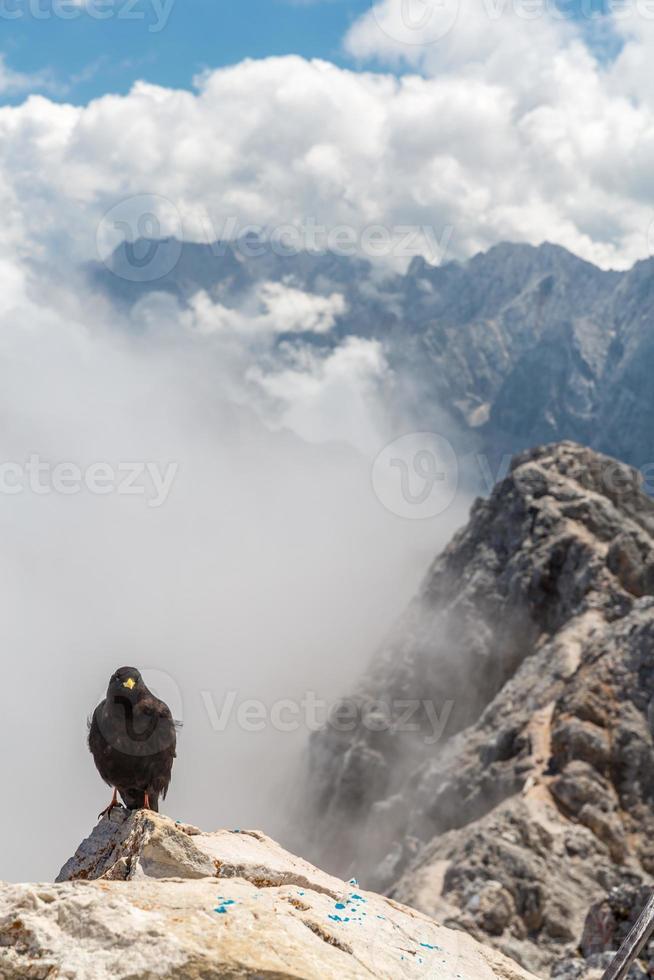 Alpine chough crow photo