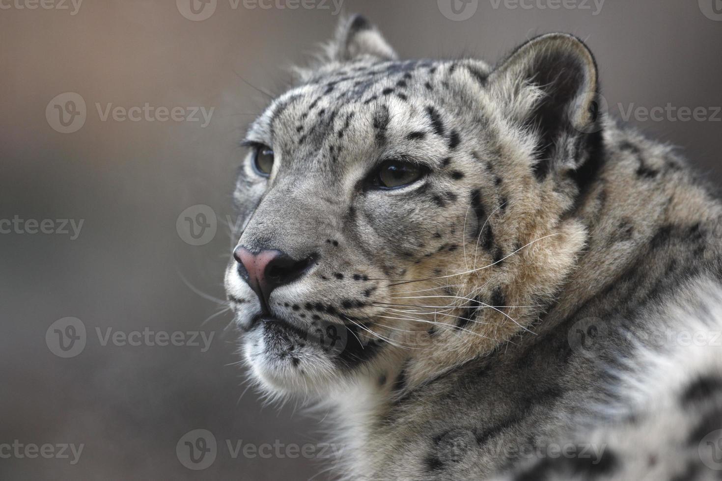 leopardo de las nieves, uncia unci, foto