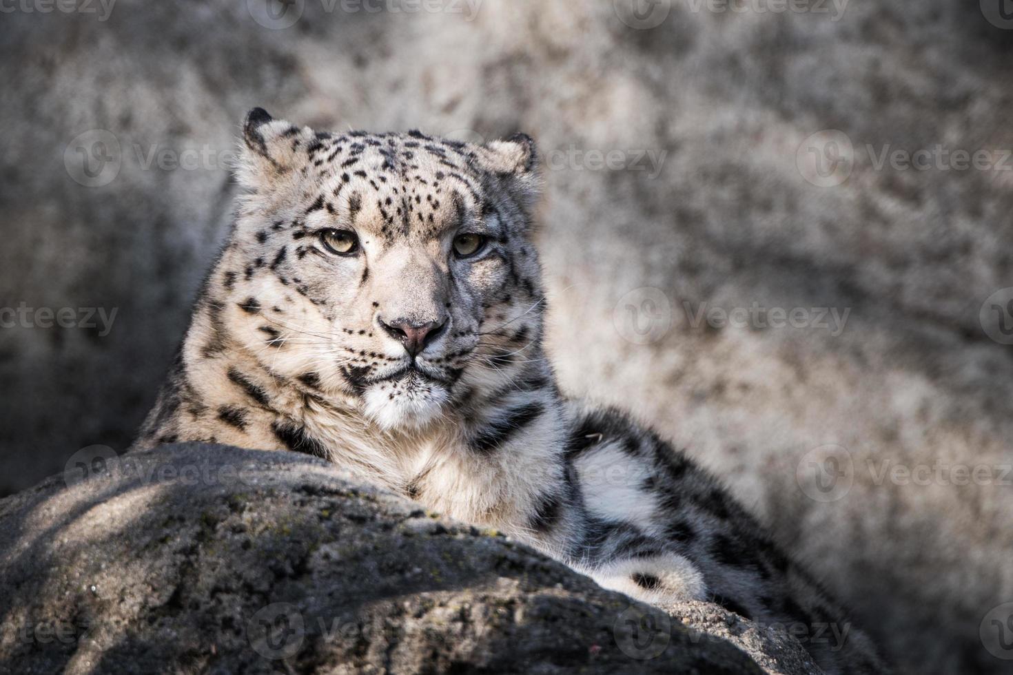 leopardo de las nieves xvii foto