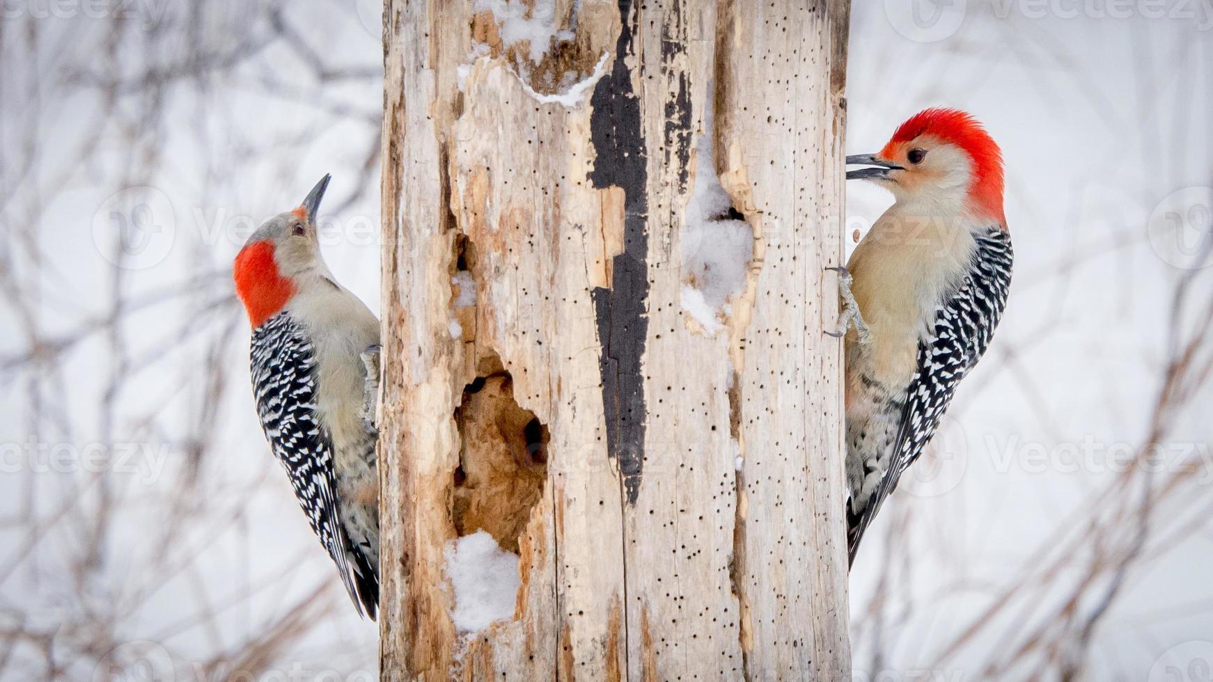 Woodpeckers on rotten tree stump photo