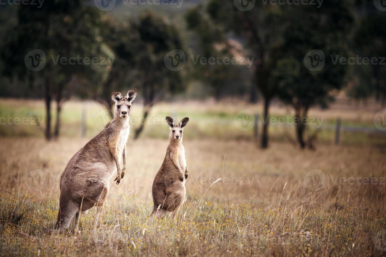 grupo de canguros australianos foto
