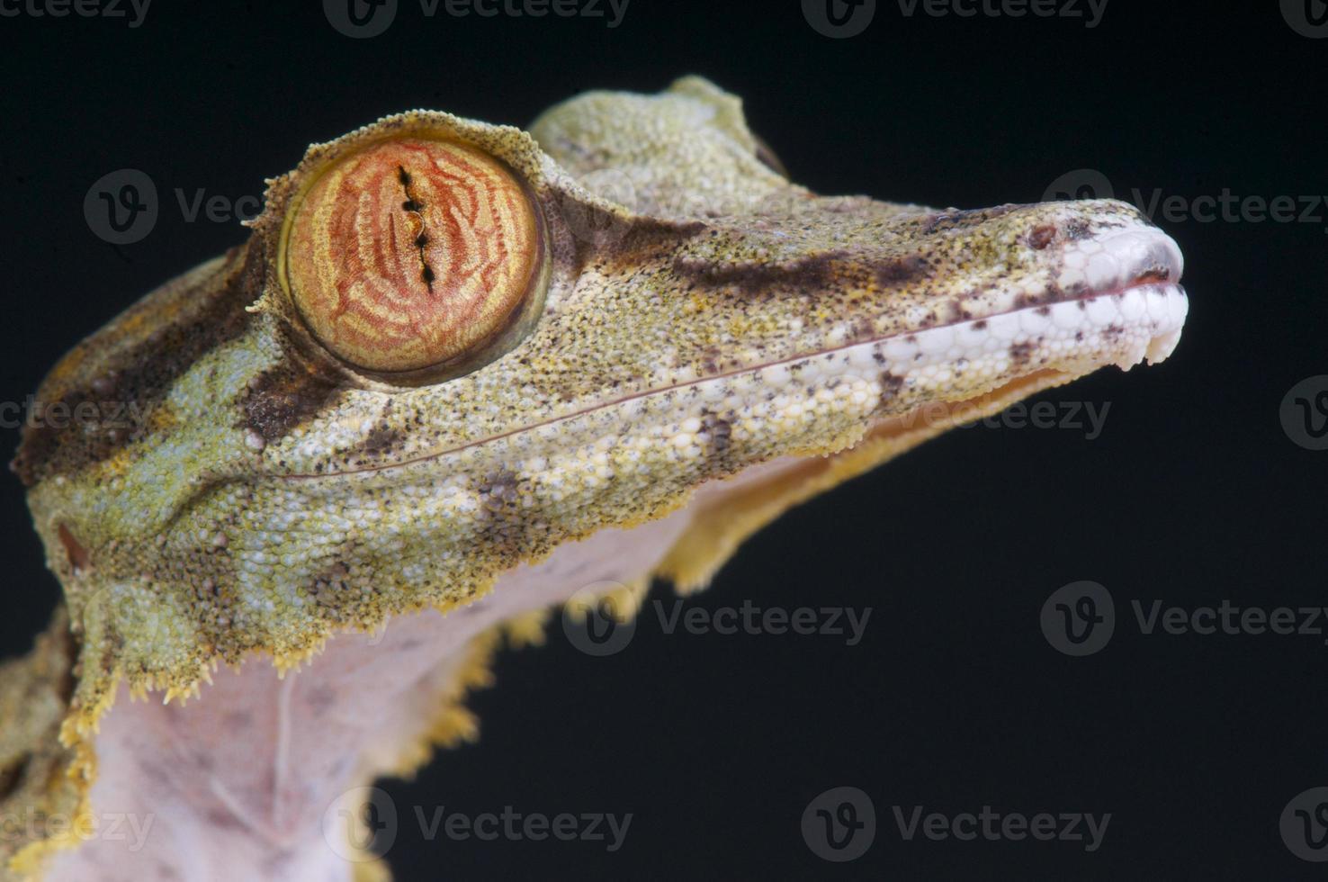 geco cola de hoja / uroplatus fimbriatus foto