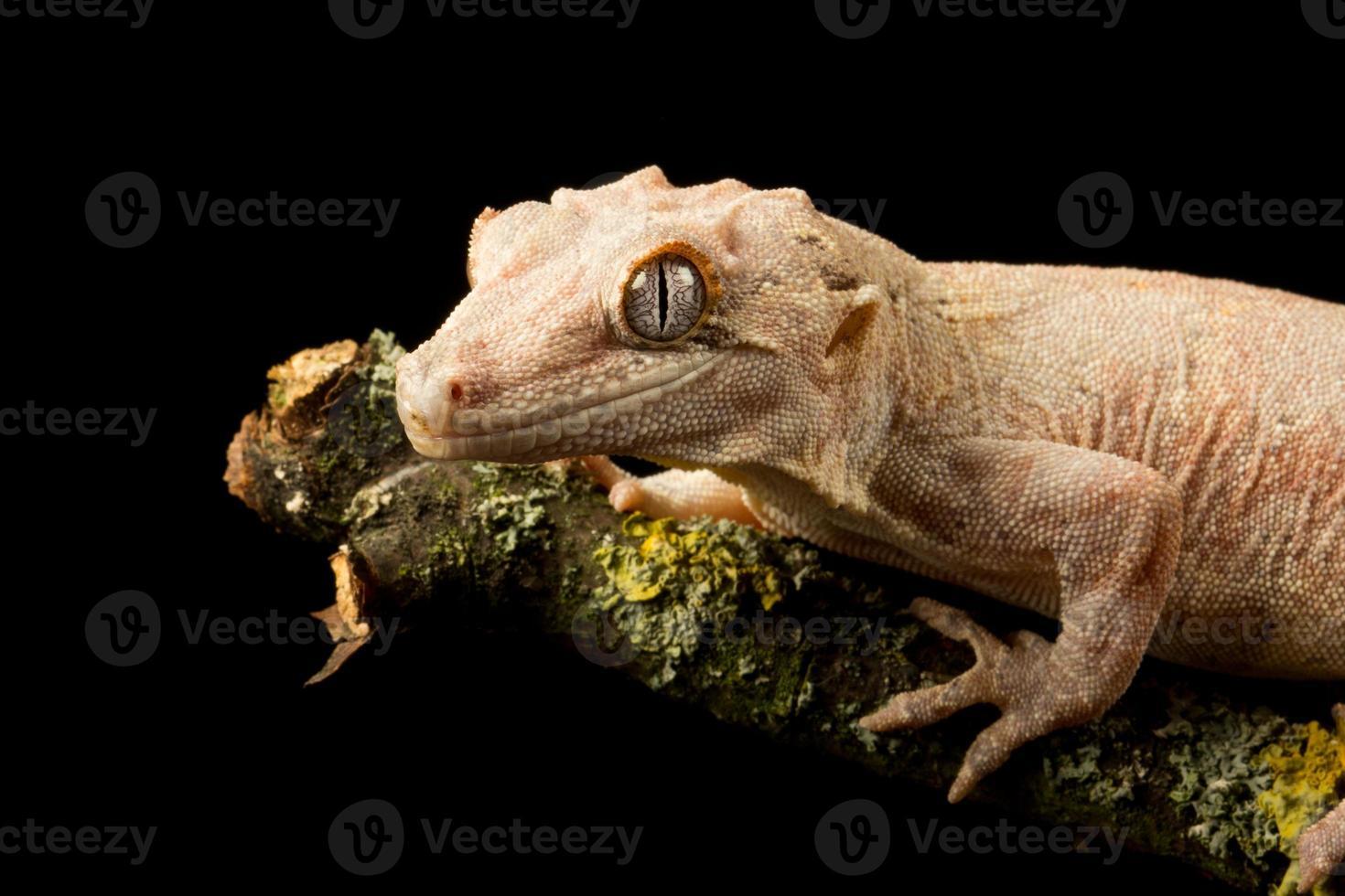 gecko gárgola en una rama foto