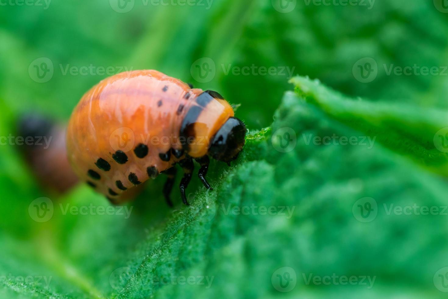 Colorado bug larvae photo