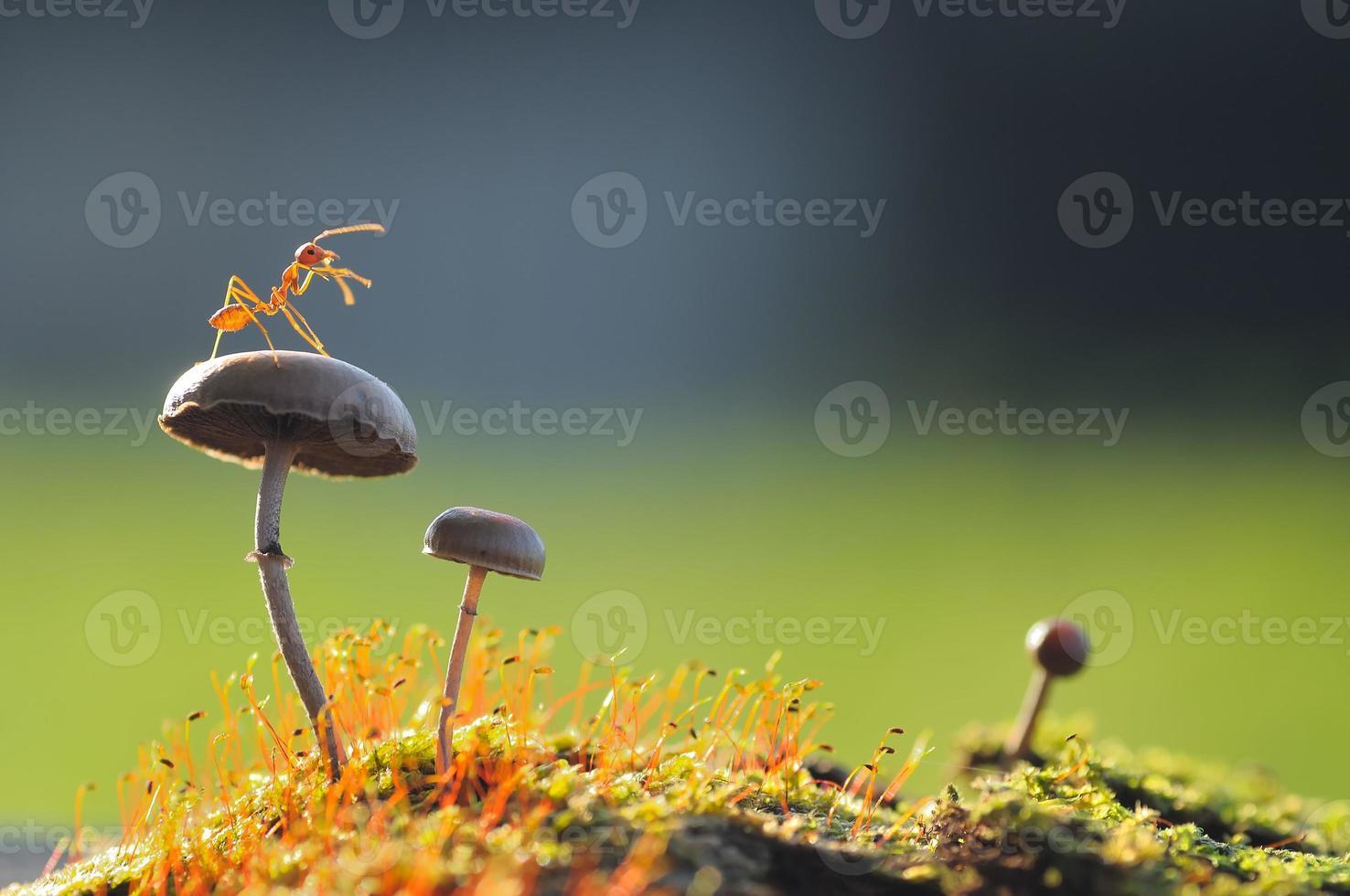 hormiga tejedora sobre un hongo foto