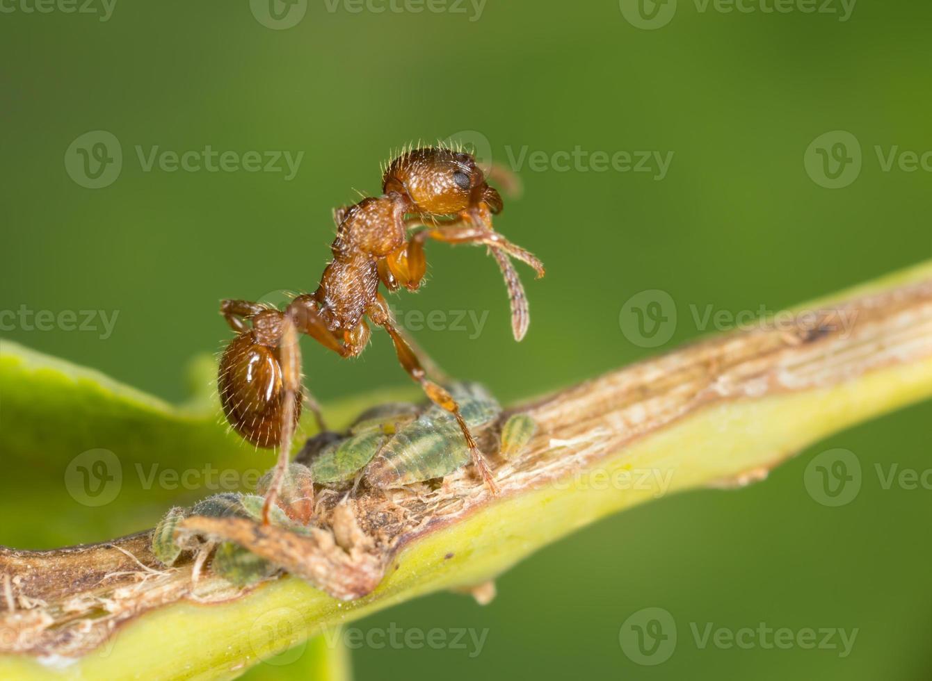 hormiga roja, mirmica en pulido de pulgones foto