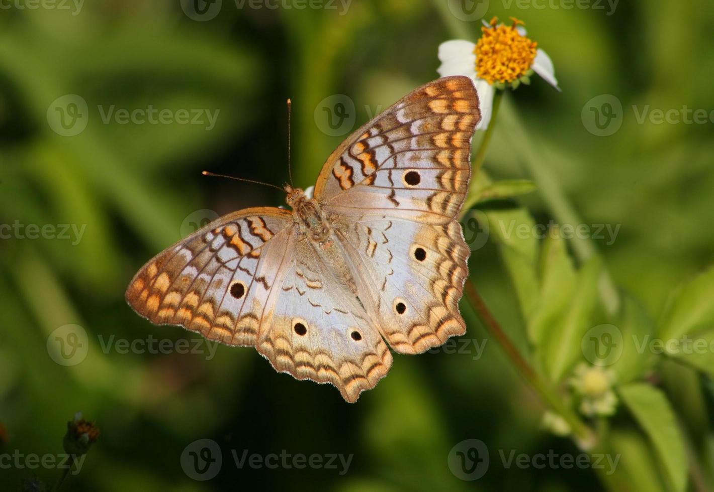 hermosa mariposa pavo real blanco foto