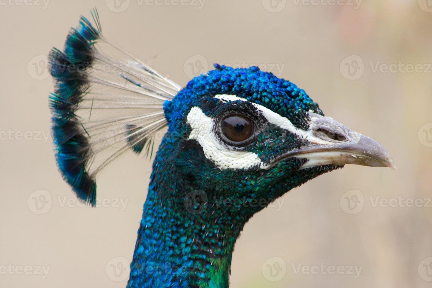 cabeza de pavo real foto