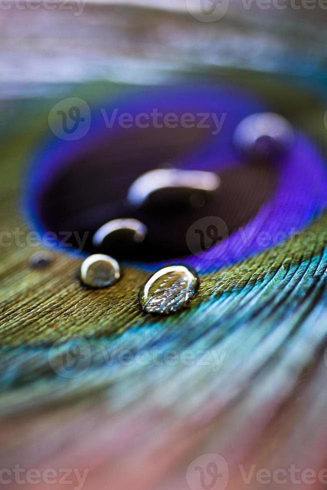 Pluma de pavo real con gotas de agua. foto
