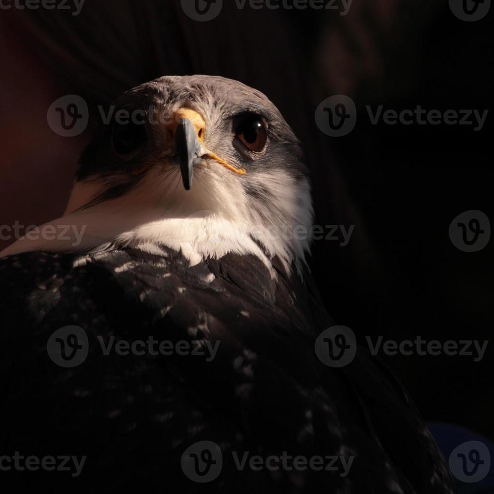 Cerca de halcón sobre fondo negro foto