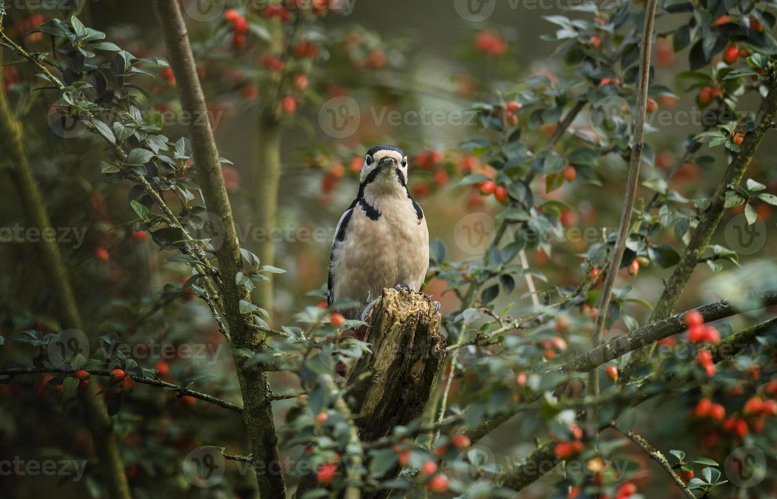 Great spotted woodpecker, in a berry bush photo