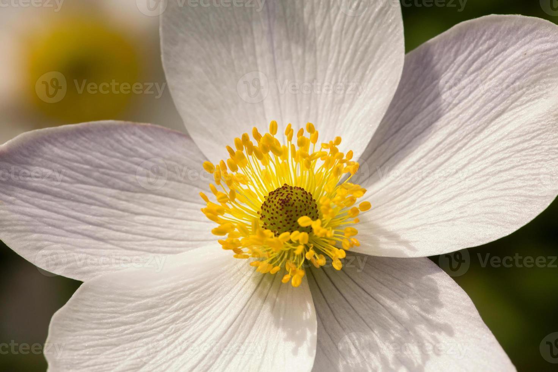 White Anemone Flower 'Wild Swan' - Close Up photo