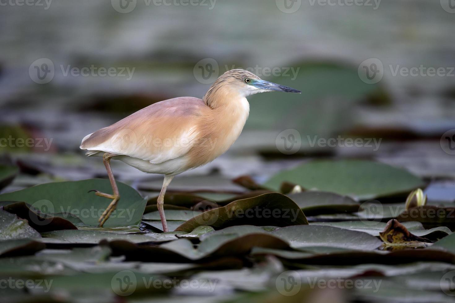 Squacco heron, Ardeola ralloides photo
