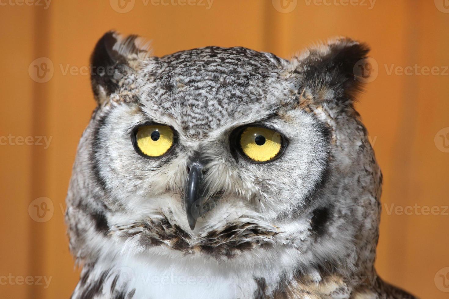 Great horned owl (Bubo virginianus). photo