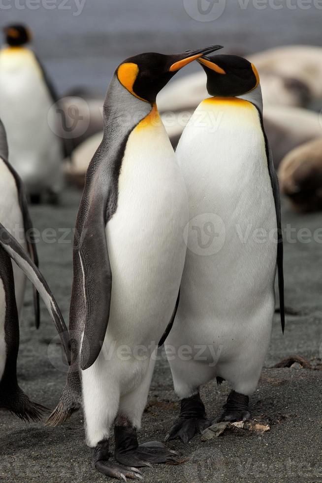 King Penguins, Macquarie Island photo