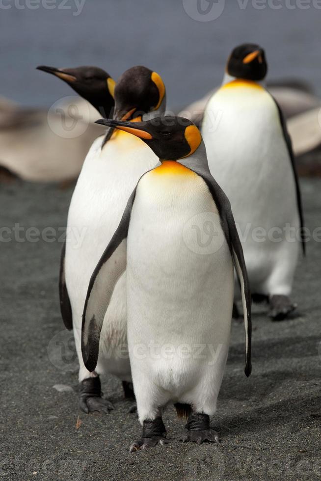 pingüinos rey, isla macquarie foto