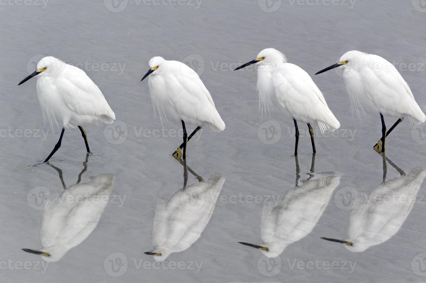 Snowy Egrets Walking on Beach (Re-submission of 22479563) photo
