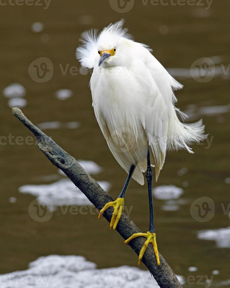 Snowy Egret in the Wind photo