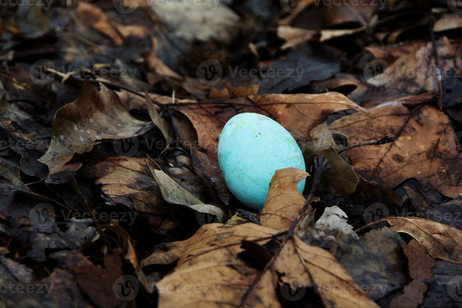 Robin's Egg on Leaves photo