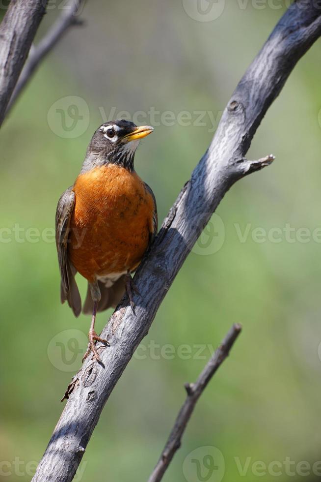 American Robin photo