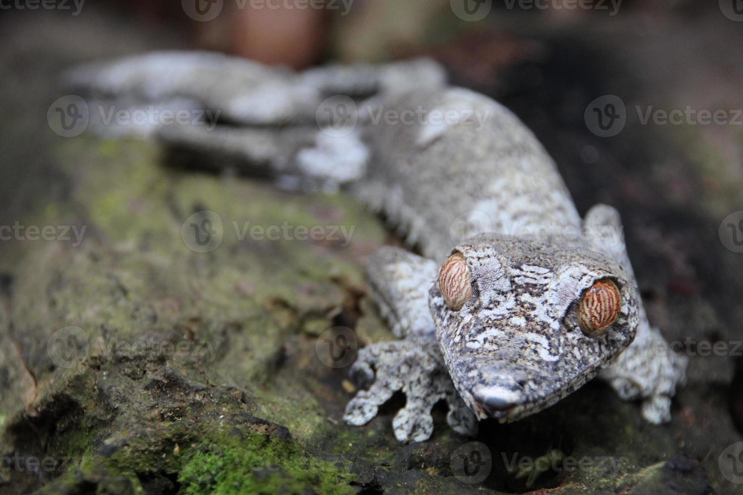 Leaf tail gecko, Madagascar photo
