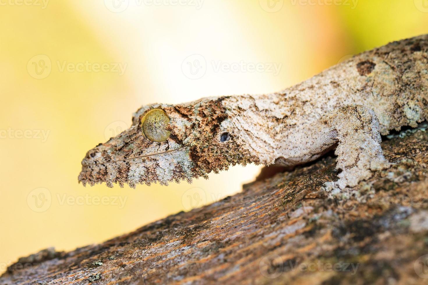 Leaf tailed gecko portrait photo