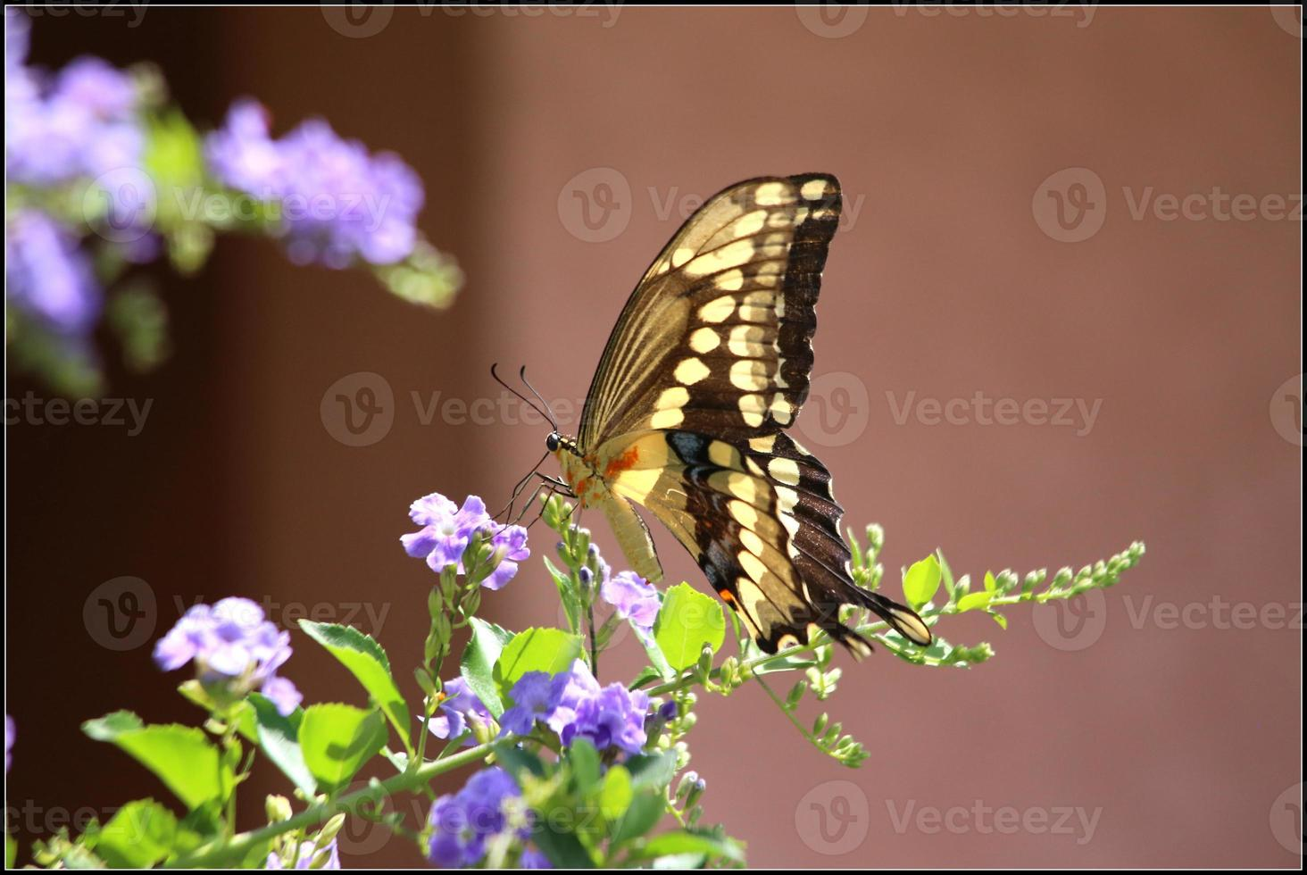 mariposa cola de golondrina gigante foto