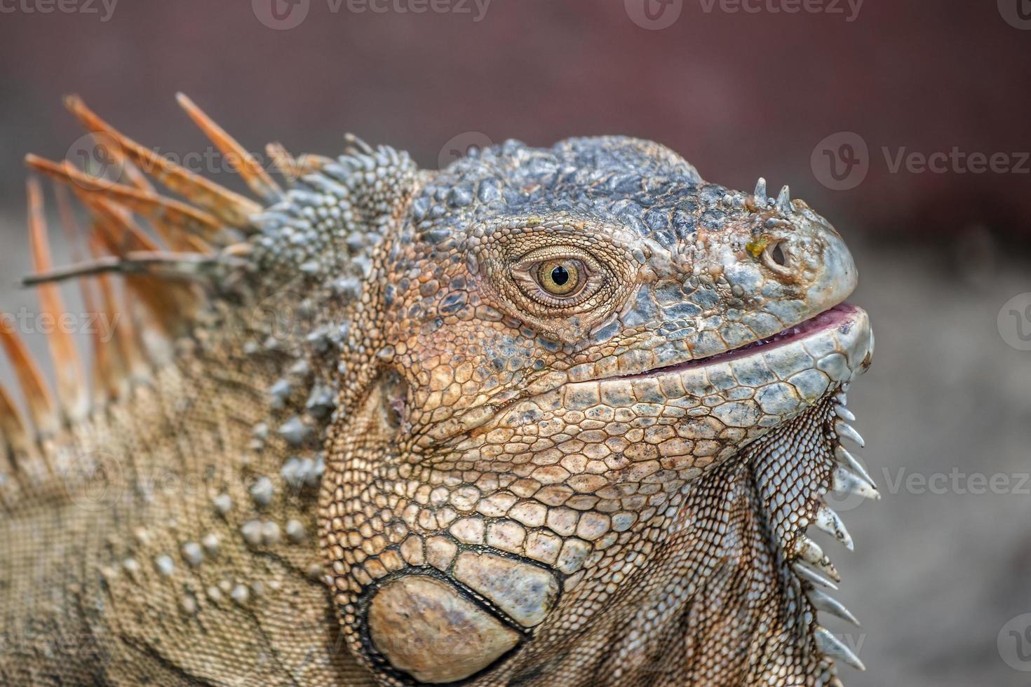 Iguana Portrait photo