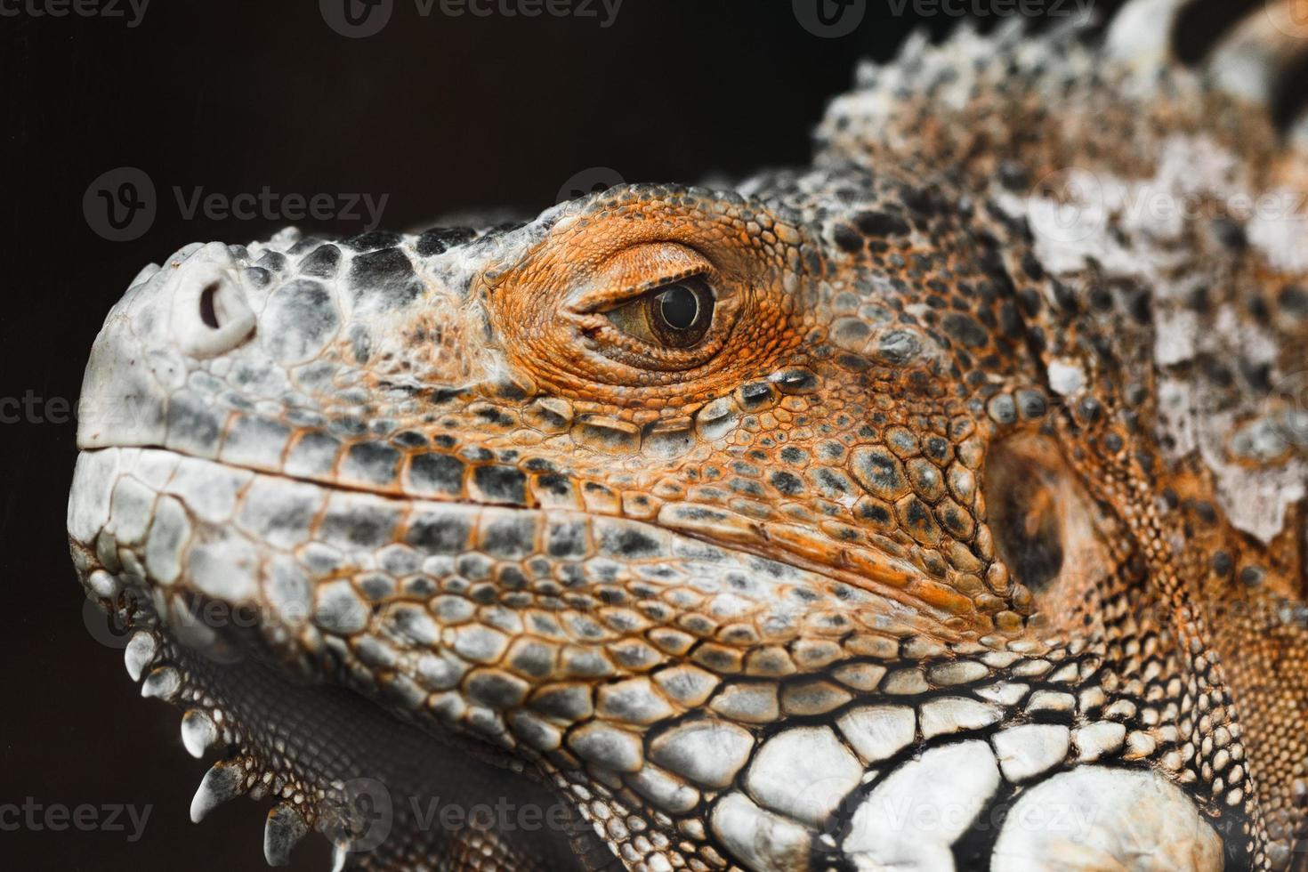 Iguana sobre un fondo negro foto